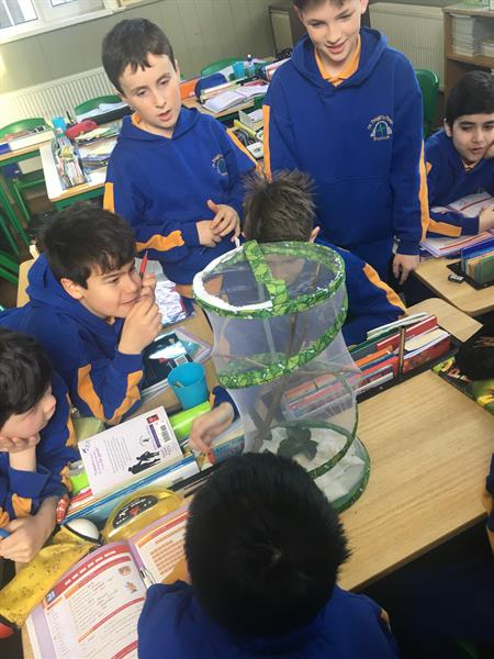 Stick Insects in 5th Class!